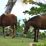wild horses at The W - Vieques